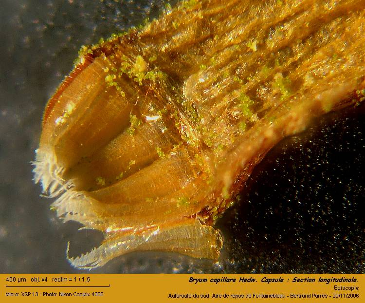 16_Bryum_capillare_Hedw_Capsule_Section_longitudinale.jpg