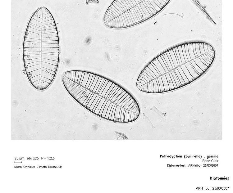 Diatomees.jpg