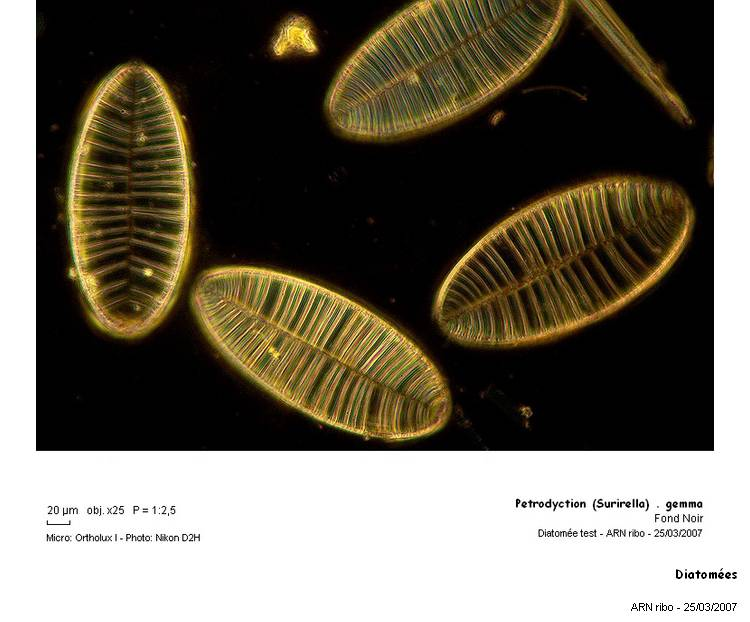 Diatomees2.jpg