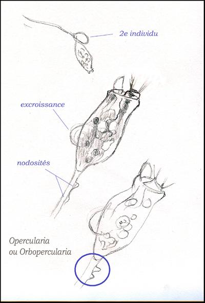 opercularia3w.jpg