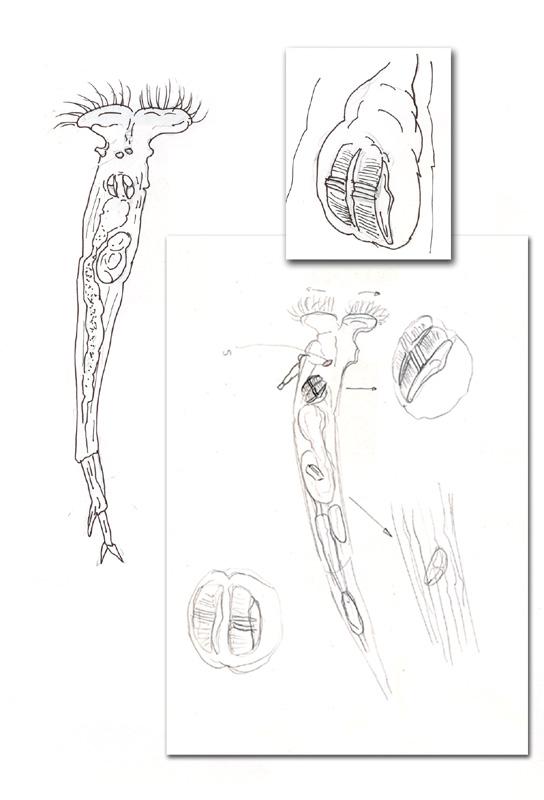 rotiferes.jpg