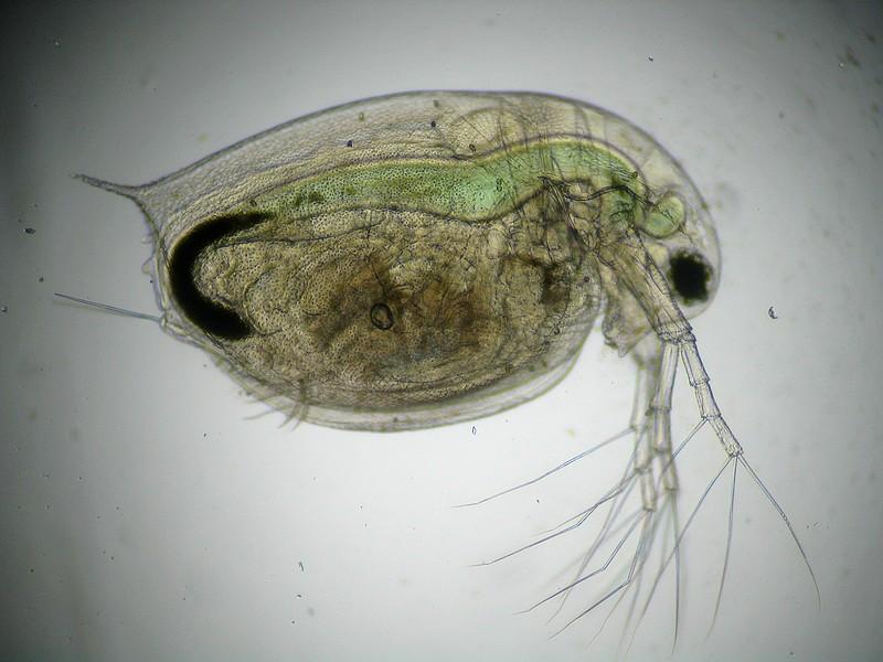 D.obtusa1.jpg