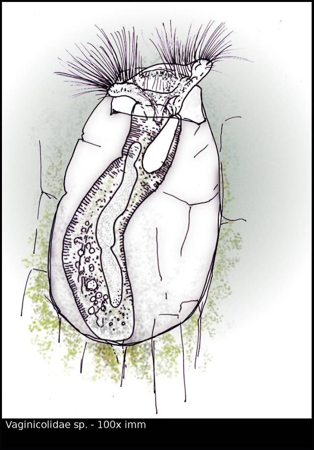 vaginicolidae_w.jpg