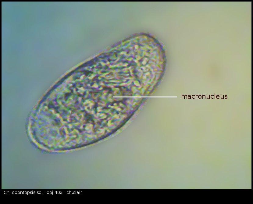chilodontopsis_96785.jpg