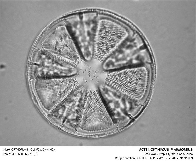 ACTINOPTHYCUS_MARMOREUS.jpg
