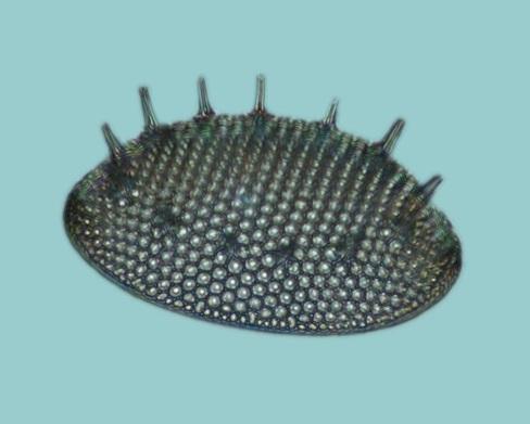 diatomee_fossile_dunkirk_maryland_usa.jpg