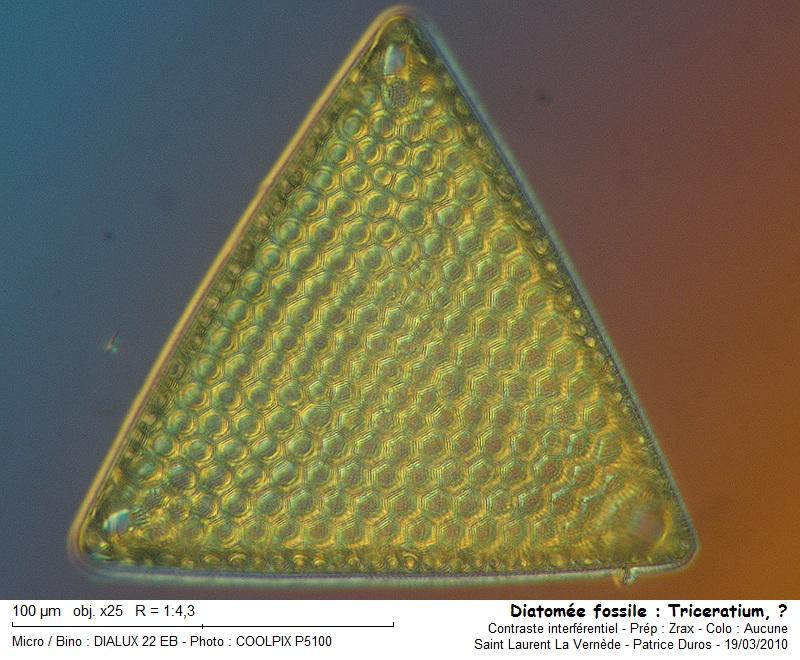 diatomee_fossile__triceratium_.jpg