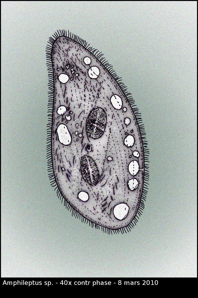 Amphileptus.jpg