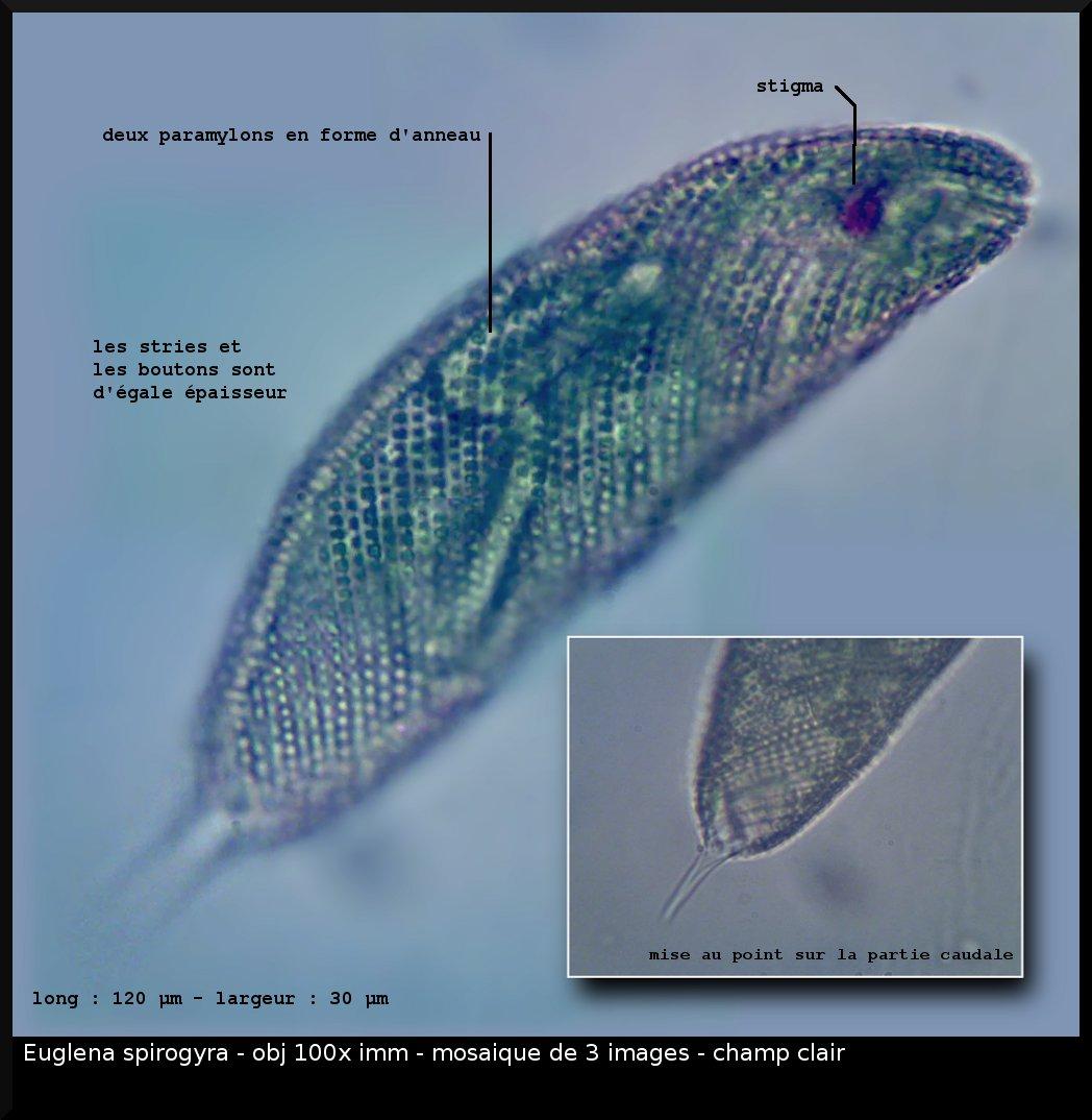 euglene-spirogyra.jpg