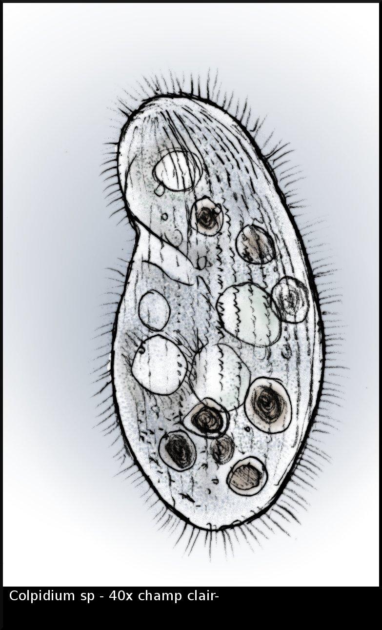 Colpidium.jpg