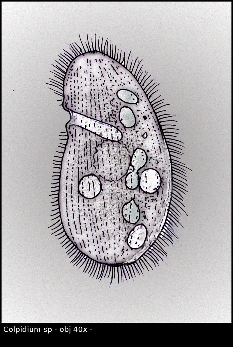 Colpidium01.jpg