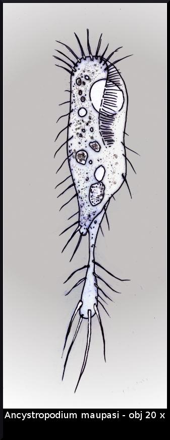 ancystropodium.jpg