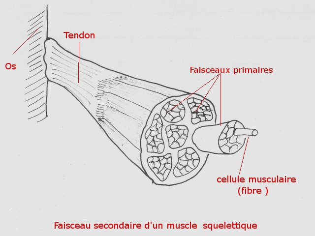 muscle texte 1 .jpg