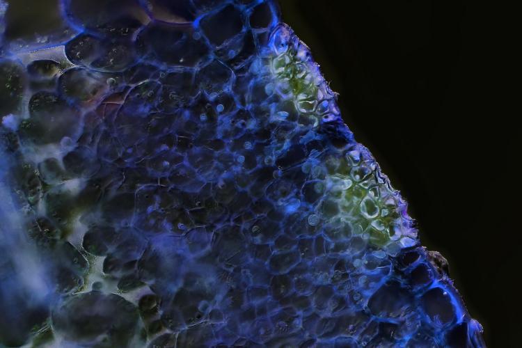 heliamphora glande nectar 2_V9.jpg
