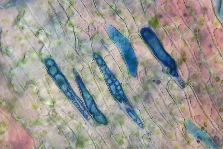 heliamphora glandes digestives 2_V9.jpg