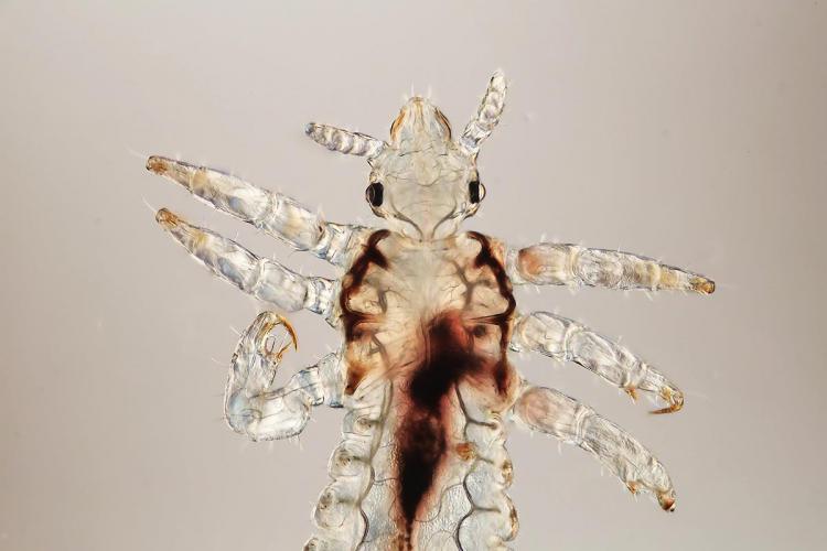 pou tête & thorax 1_V9.jpg