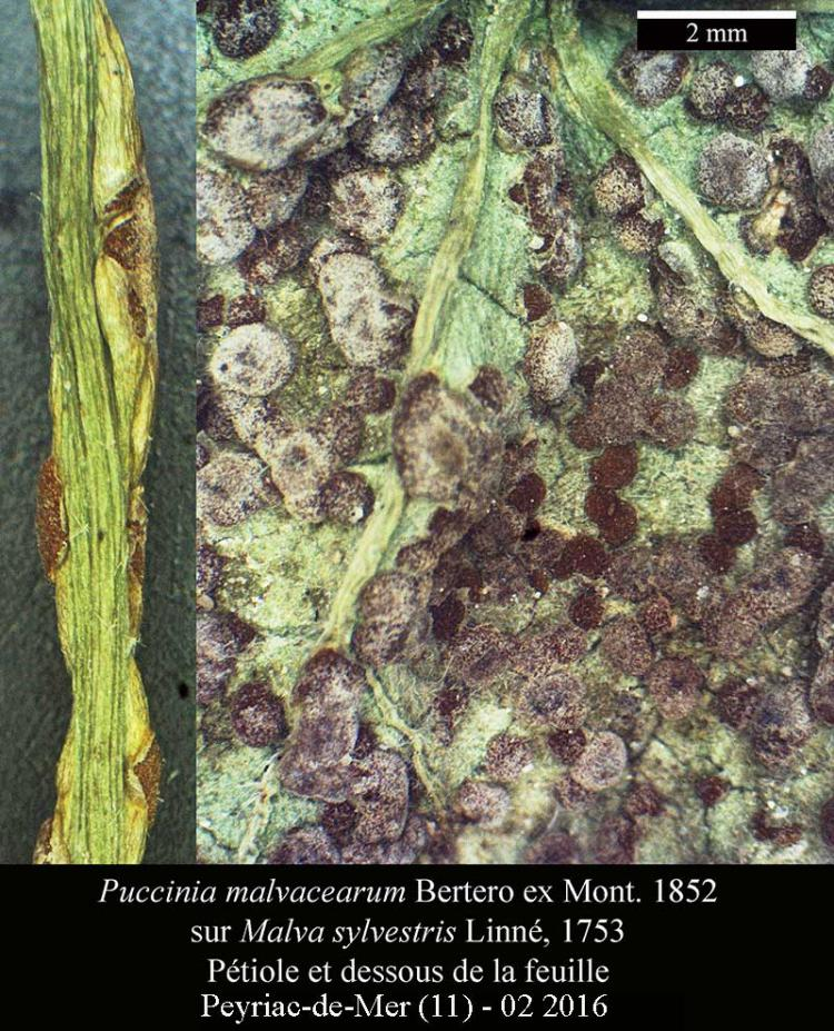 Puccinia malvacearum-Macro-Peyriac-02 2016-LG.jpg