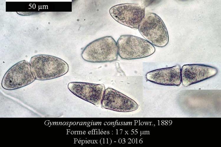 Gymnosporangium confusum-Telio2-Pépieux-03 2016-LG.jpg