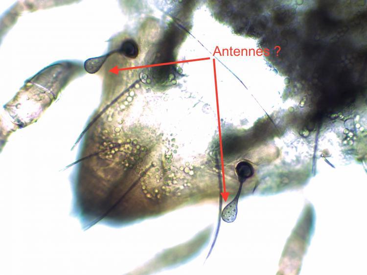Acarien lichen x40.jpg