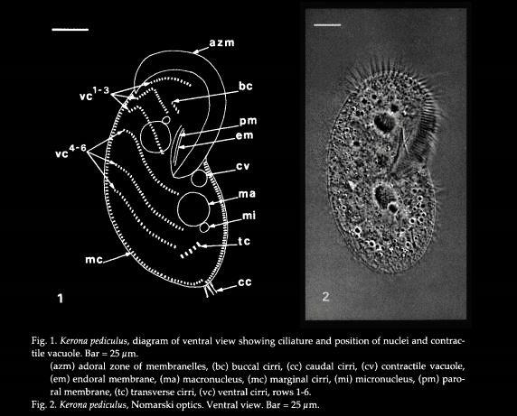 kerona-pediculus-1.jpg
