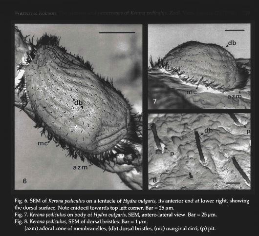 kerona-pediculus-2.jpg