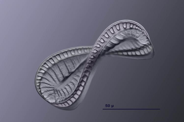 surirella spiralis classique 12.jpg