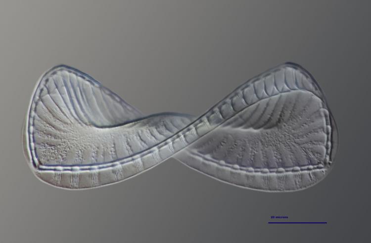 surirella spiralis 18_V9.jpg