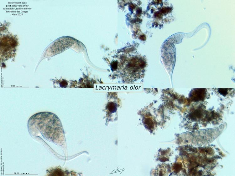 Lacrymaria-olor-web.jpg