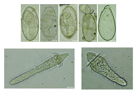 Paramphistomes-Page-3.jpg