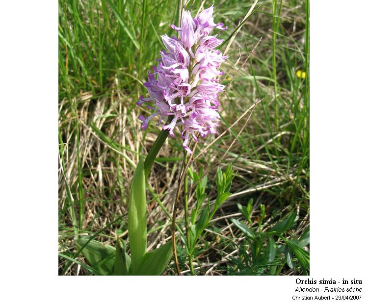 Orchis_simia___in_situ_1.jpg