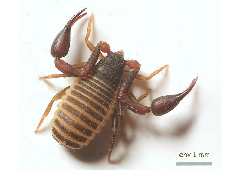 Pseudo_scorpion.jpg