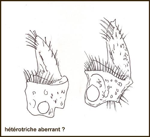 heterotricheaberrant1.jpg