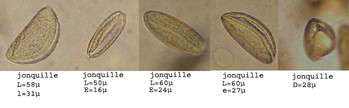 pollenJonquilleAspect.jpg