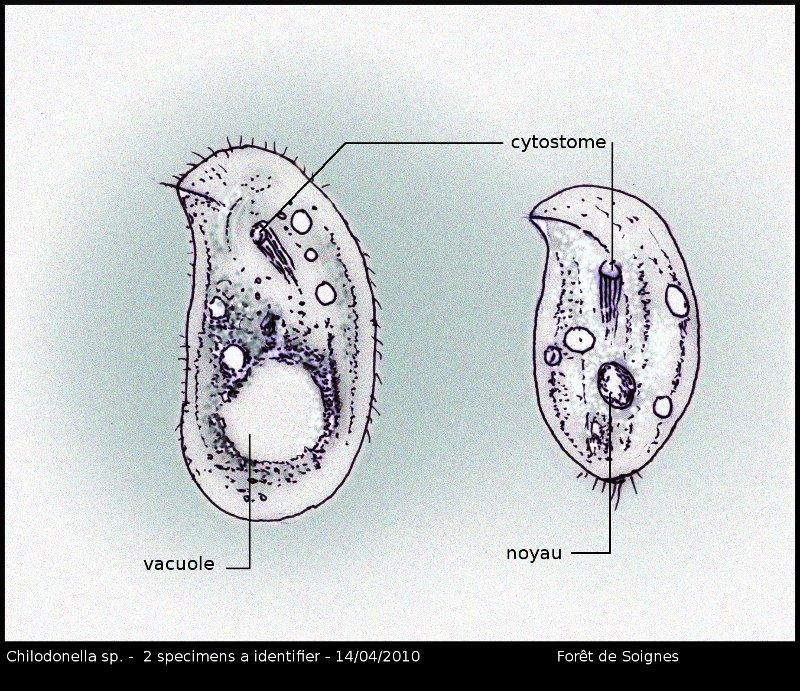 chilodonella1.jpg