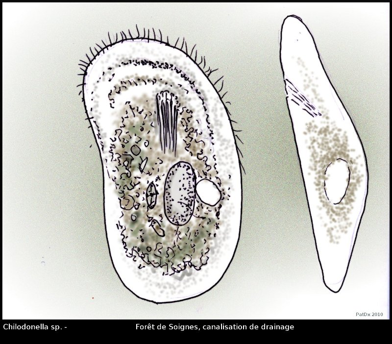 chilodonella-sp1.jpg