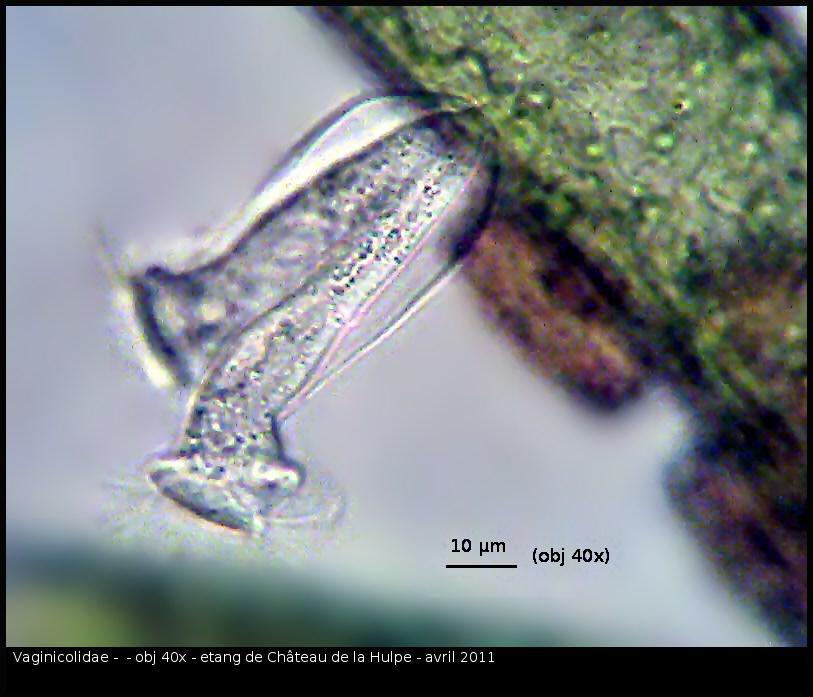 Vaginicolidae-avril-331.jpg
