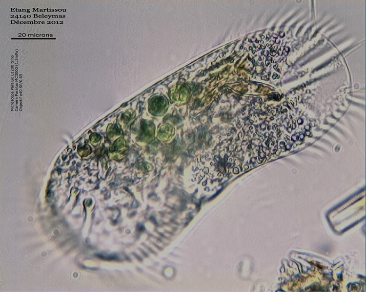 Stylonychia WEB.jpg