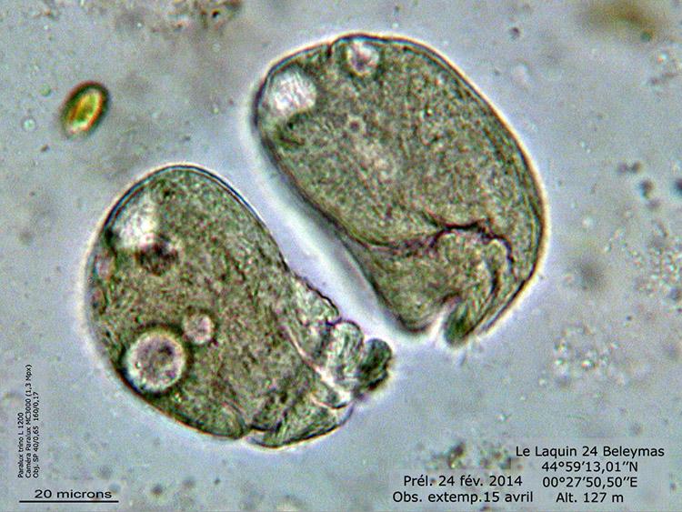 Colpidium �  vérif 2.jpg