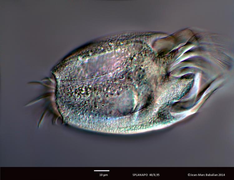 uronychia 40 DIC 27-04-14 a.jpg