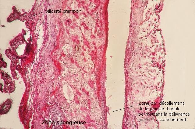placenta texte 10.jpg