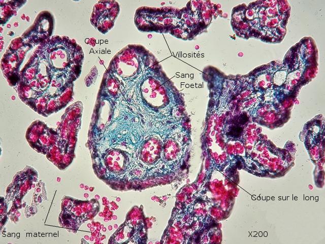 placenta texte 5 .jpg