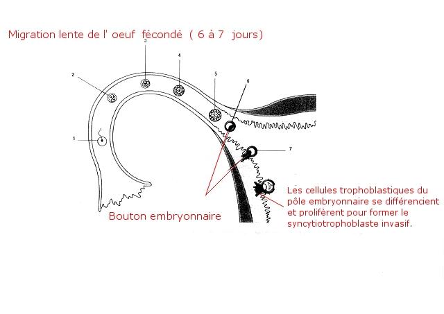 placenta texte1.jpg