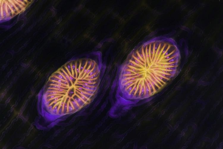 brocchinia glandes digestives 5_V9.jpg