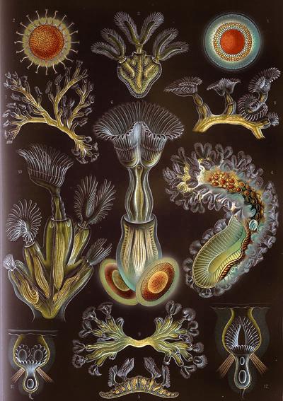 800px-Haeckel_Bryozoa.jpg