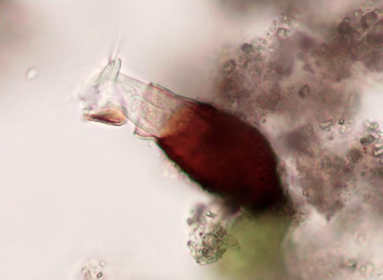 pyxicola sp.jpg
