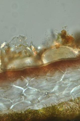 algue spore texte 7.jpg
