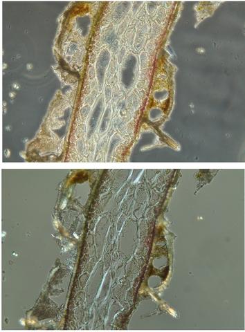 algue spore texte 8.jpg