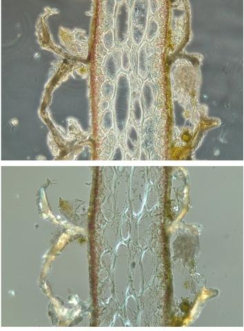 algue spore texte 9.jpg