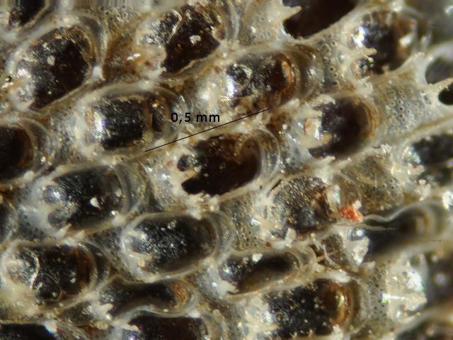 algue spore texte 5.jpg