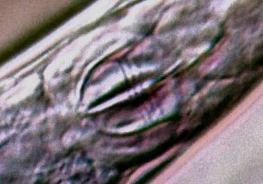 habrotrocha-curvicollis-mas.jpg